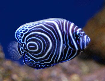 Koran Angelfish  Information - The Koran Angelfish Distribution - Australia, Indian Ocean, Red Sea, West Pacific Ocean. Size - 40 cm / 16 inches. The Semicirculatus or Koran Angelfish is found at depths less than 25 meters (82 ft.).