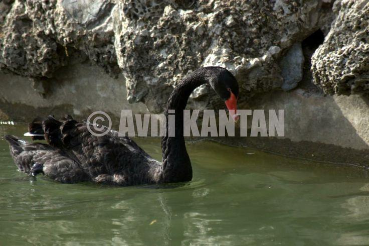 Siyah kuğu