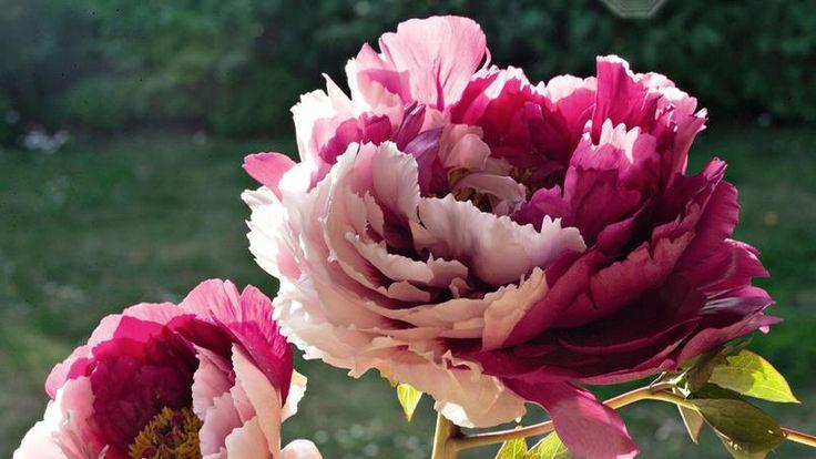 'Beauté Jumelle', une pivoine arbustive suffruticosa dont la corolle mêle, en deux zones distinctes, pétales roses et pourpres.