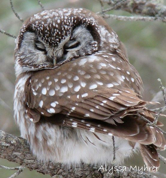 boreal owl sleeping