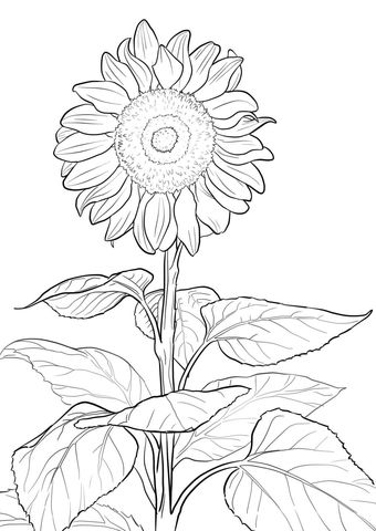 Sunflower coloring page from Sunflower category. Select from 21274 printable crafts of cartoons, nature, animals, Bible and many more.