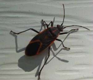 9 best boxelder bug how to get rid of images on pinterest box elder bugs insects and cleaning. Black Bedroom Furniture Sets. Home Design Ideas