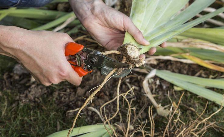 Staudenvermehrung: alle Methoden im Überblick -  Kopfstecklinge, Wurzelschnittlinge, Ausläufer: Kaum eine Pflanzengruppe bietet so verschiedene Vermehrungsmöglichkeiten wie die Stauden. Wir zeigen die gängigsten Methoden im Überblick.
