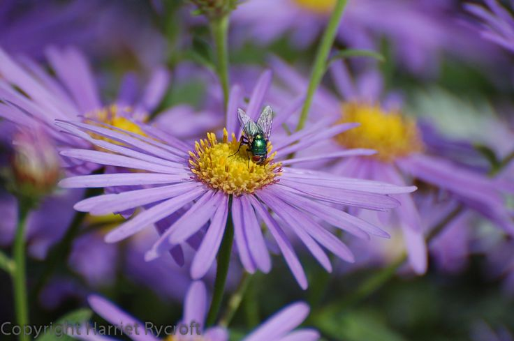 Greenbottle on Aster x frikartii 'Monch'