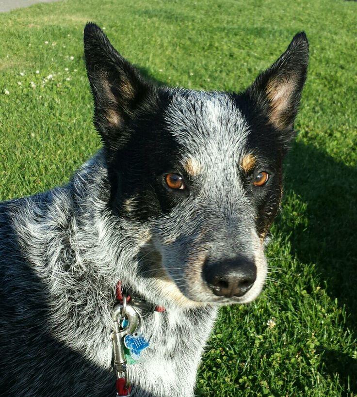 Chico bluey Cattle dog, Australian cattle dog, Blue heeler