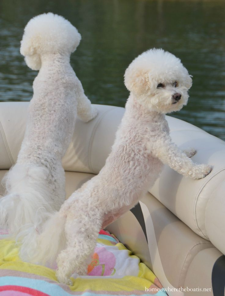 Chloe and Gracie on boat | homeiswheretheboatis.net #LakeNorman #BichonFrise #NationalLoveYourPetDay