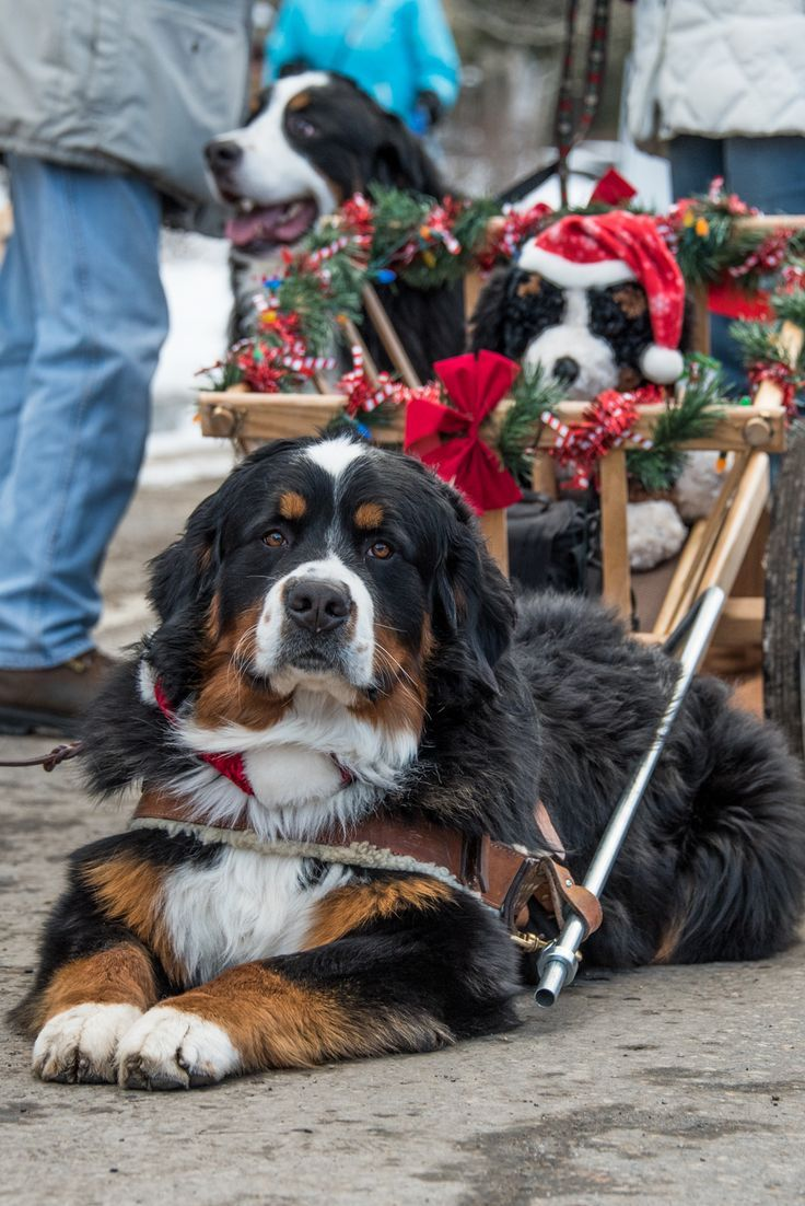 Bernese Mountain Dog at Breckenridge Colorado Christmas parade.