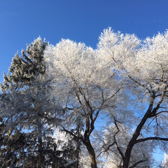 Hoar frosted trees backdropped by a crystal blue winter sky. www.thebestrate.ca