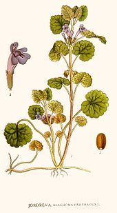 Lierre terrestre commun (Glechoma hederacea)
