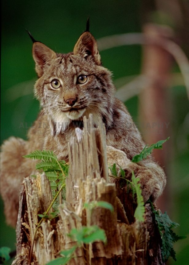 STUMPY Northern Ontario I was startled when this young lynx crossed the road in front of me. I immediately pulled my vehicle over and followed him into the forest. Sneaking quietly into the trees, I found him perched on a stump looking back at me!