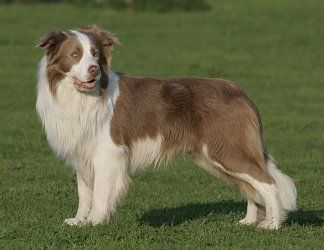 border collie lilac