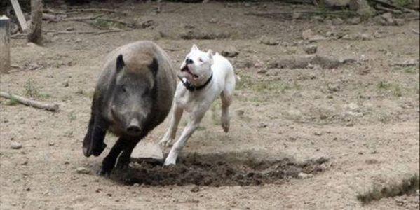 To prevent and punish hunting for boars with dogs. Pour Interdire Et Punir La Chasse Aux Sangliers En Enclos Par Des Dogs Argentins