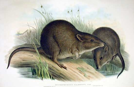 The Gilbert's potoroo (Potorous gilbertii) is the most endangered mammal in Australia. This small marsupial, also known as the rat-kangeroo, only survives in one location - Two Peoples Bay Nature Reserve in southwestern Australia. The small animal eats mostly mushrooms and is threatened by feral foxes and cats and the possibility of fire. One fire could destroy the entire remaining population. Find out more at http://www.potoroo.org/  (Wikimedia Commons)