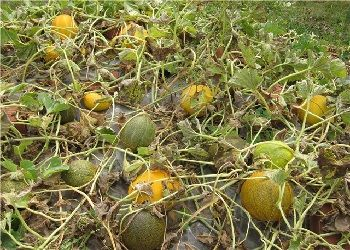 выращивание дыни в Украине