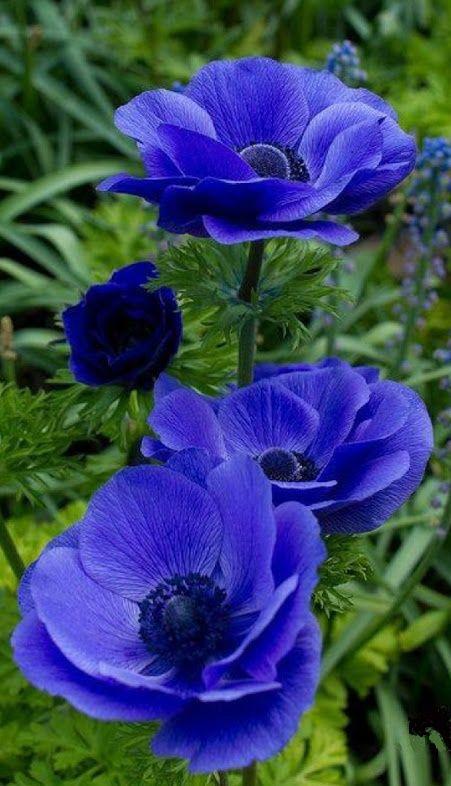 1991 besten Blue Flowers Bilder auf Pinterest | Ballon blumen, Blau ...