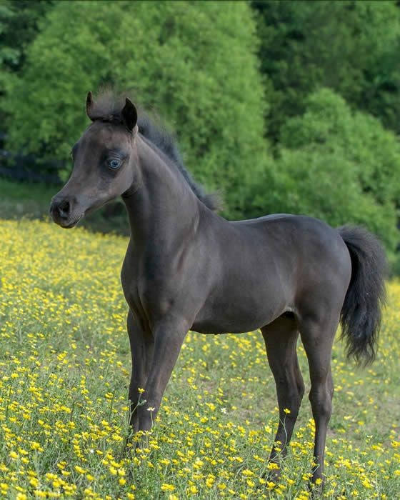 AMHA/AMHR (pending/guaranteed) 2017 Black Mare w/Blue Eyes Shetland Blend Exotic SHOW Filly - Homozygous BLACK. LOVE this little filly! Sired by a Tango son and out of Ravenwood Aristocrats Only The Best, this little filly is sure to be an exceptional beauty! Offered by Mini Horse Sales