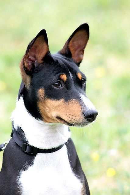 "A beautiful Basenji.  The Basenji, sometimes called the ""barkless"" dog, originated in Africa and was known in ancient Egypt. Dogs of this breed are gentle and make loyal companions."