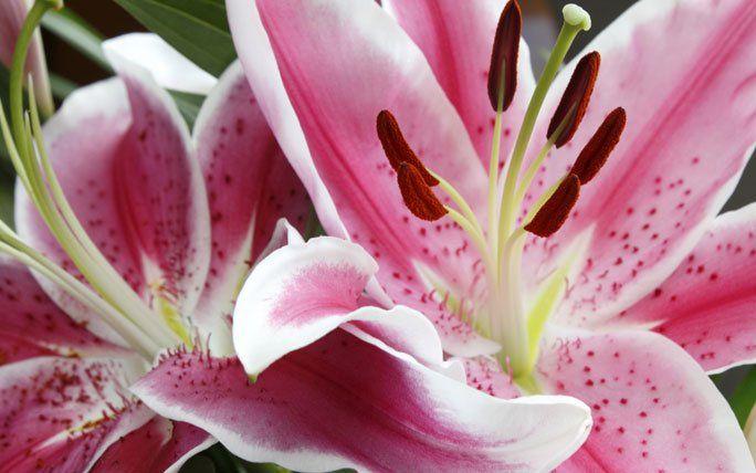 187 best images about lilien lilium on pinterest. Black Bedroom Furniture Sets. Home Design Ideas