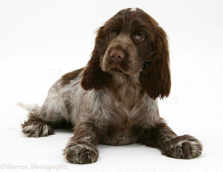 Chocolate Cocker Spaniel pup