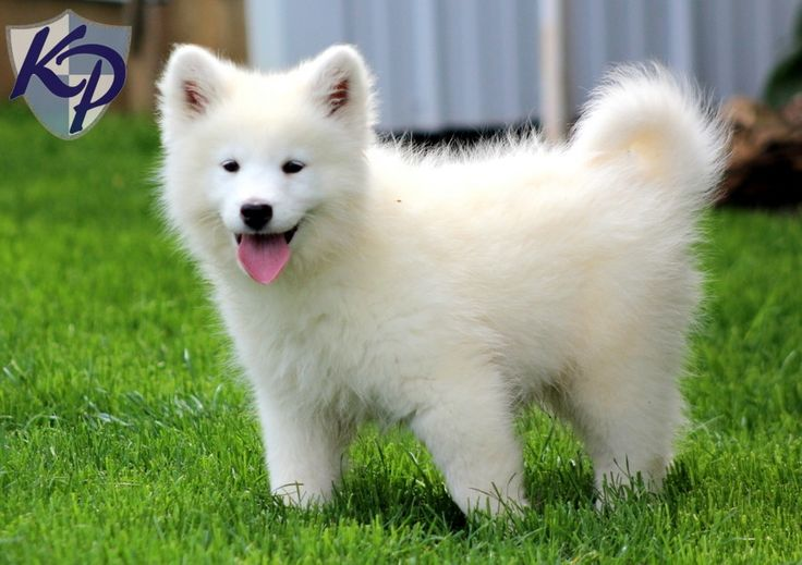 siberian samoyed with siberian husky pup | Walker – Samoyed Puppies for Sale in PA | Keystone Puppies