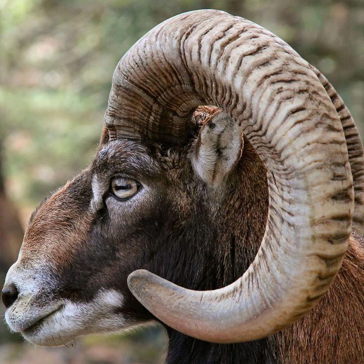 ぐるっと巻いた立派な角 A sheep's impressive spiral horns! #富士サファリパーク #ムフロン #ヒツジ #動物 #fujisafaripark #mouflon #horn #wildlife