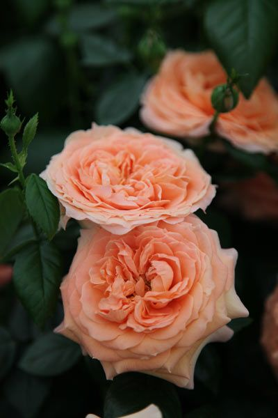 ~Rose of the year 2014 - Rosa 'Lady Marmalade'