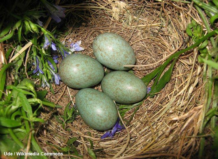 En ce dimanche de p ques nous avons compl t notre article avec le nid et les ufs du - Coquille d oeuf dans le jardin ...