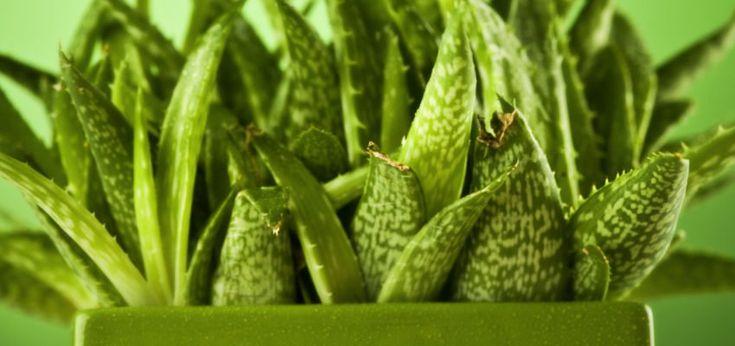 Un grupo de cinco plantas negativas para el hogar, de acuerdo a antiguas tradiciones. No es una guía para entrar en pánico y desalojar todas las plantas.