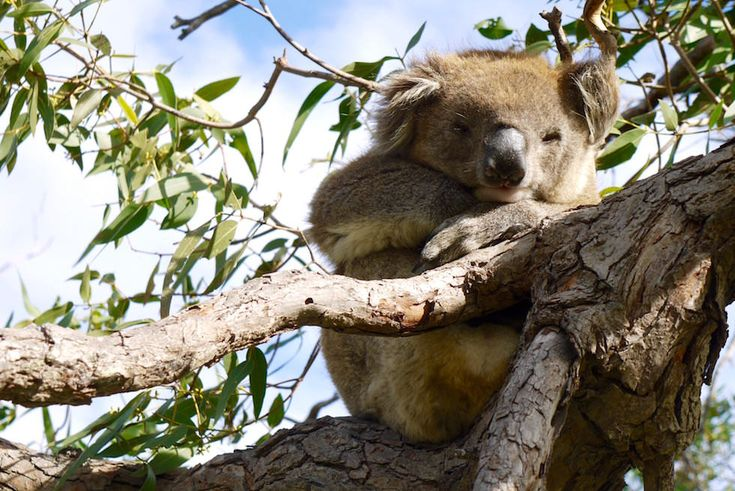 Koala 3 - Mikkira Station bei Port Lincoln - South Australia