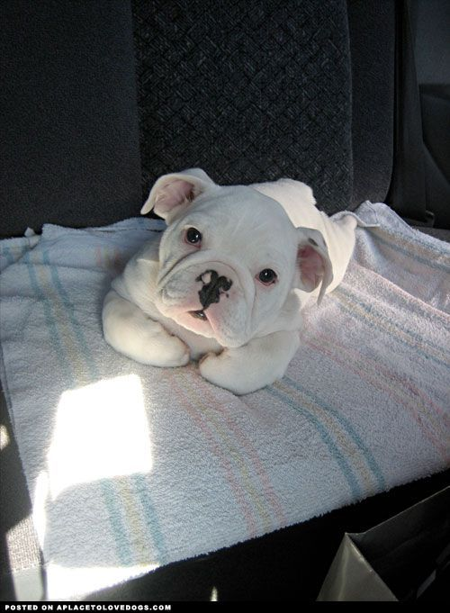8 Tips For Taking Care Of Your Dog S Paws Bulldog Puppies White