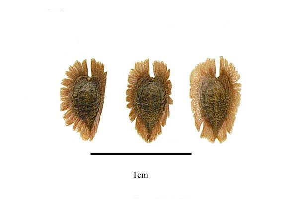 http://www.ars-grin.gov/npgs/images/sbml/Tourrettia_lappacea_seeds.jpg