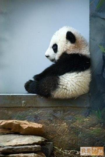 Baby Panda Sits on Ledge