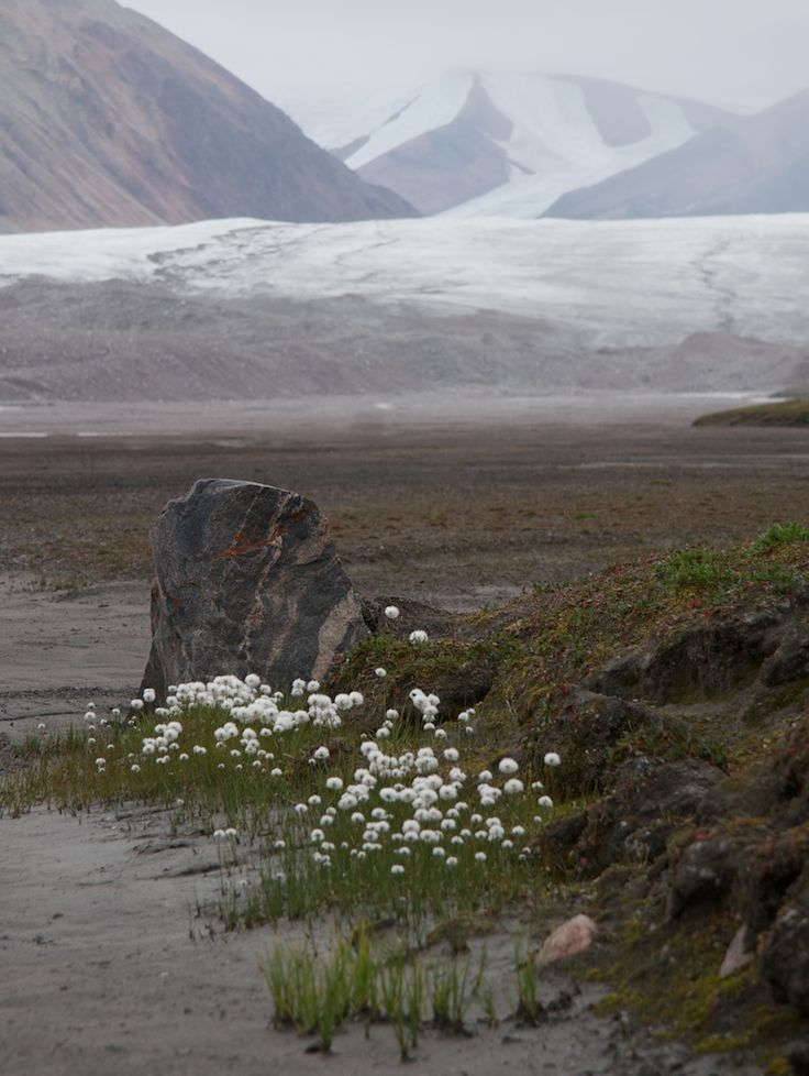 Arctic cotton on Bylot Island, north of Baffin Island.