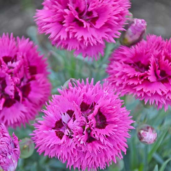 A new color in the Fruit Punch series, this dianthus will find a home in any garden. The compactness of this variety makes it a great candidate for pots or for edging gardens. The heavily fringed petals of glowing fuchsia blooms look radiant against the clean steel blue foliage. Plant name: Dianthus 'Spiked Punch' Growing conditions: full sun to part shade Size: 6-8 inches tall by 12-14 inches wide Zone: 4-9 Grow it with: creeping phlox and veronica Photo credit: Walters Gardens Inc.