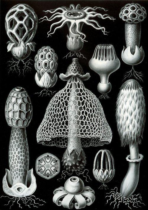 Mature Fruiting Bodies of Basimycetes, Ernst Haeckel, 1904