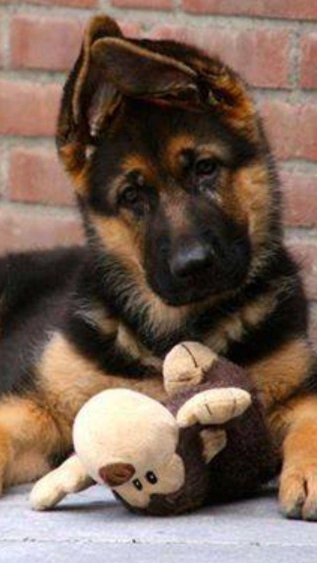 GSD Puppy #germanshepherdpuppy