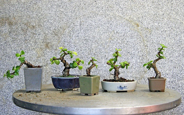 the beginning of a jade bonsai.