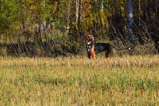 Syysaamun Uhka, 1 year old finnish hound