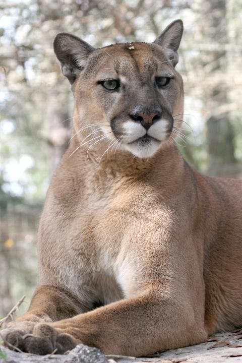Hal, the cougar