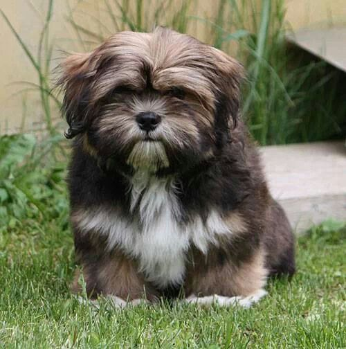 Lhaso Apso... that face