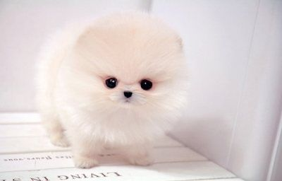 a tea cup mini pomeranian....how adorable!