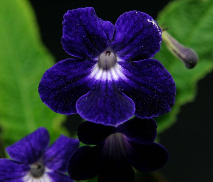 17 Best Images About Indoor Flowering Plants On Pinterest Wandering Jew Indoor Flowering