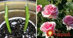 Ten najvhodnejší čas na rozmnožovanie ruží z orezkov pomaly ale isto nastáva – je ním koniec leta a začiatok jesene.