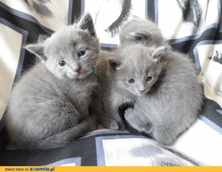 Piękne kocięta « Rosyjski niebieski « http://Zoomia.pl/ogloszenie/koty/