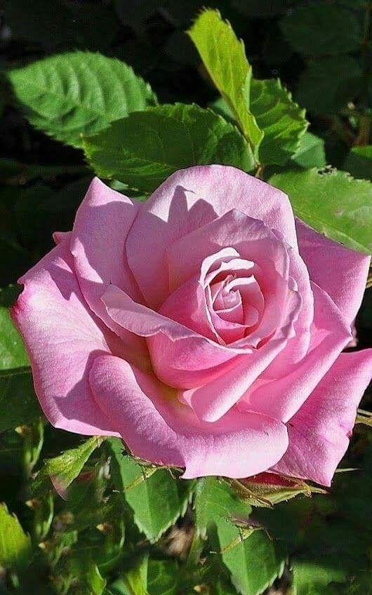 Beautiful opened pink rose