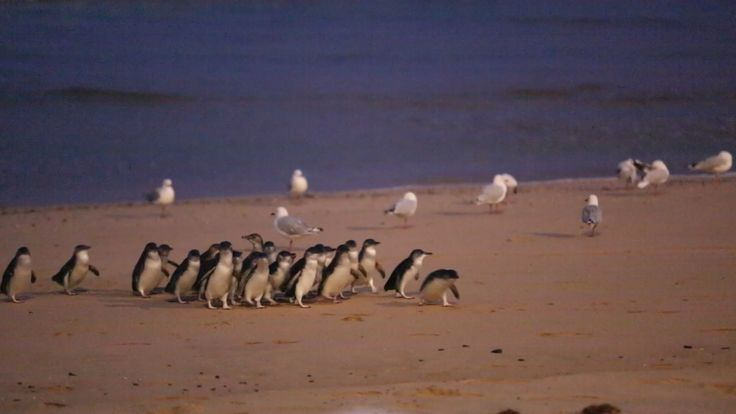 These little guys are so sweet, they leave the water single file and call out to each other in the dark as they reach the burrows, you're so close to them you could kiss. Melbourne - Phillip Island Little Penguins Parade