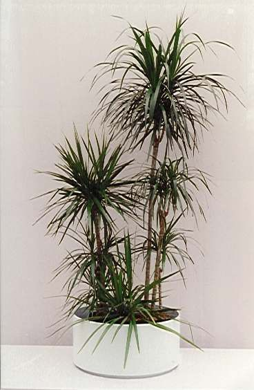 Dracaena Marginata - Madagascar Dragon Tree. super low-maintenance indoor plant, okay with indirect light.