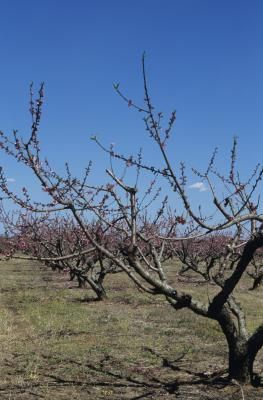 Image result for PICTURE OF A DRY PEACH TREE