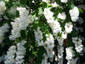 Deutzia : un arbuste de printemps à la floraison spectaculaire