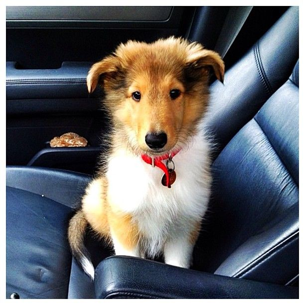 Sweet little Rough Collie puppy! ☺ Congrats to @dextertheaussie & thanks for posting!
